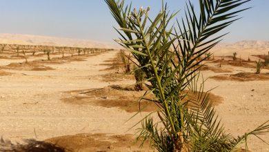 Photo of مركز الخارجة يخصص ٧ مواقع لزراعة النخيل على 13378 فدانا بالوادي الجديد